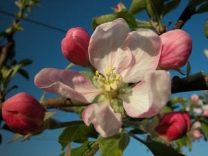 1-Apfelbluete-(Foto,-Kraeme
