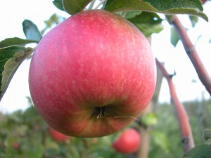 3-Apfel-(Foto,-Kraemer)-w