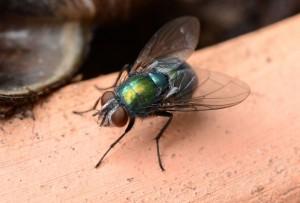 Grüne-Fliege-(Foto,-Cathrin