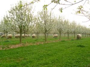 Schafe unter Apfelbäumen der Obstplantagen Krämer